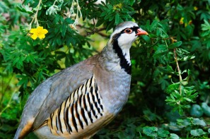 rock-partridge-50362_960_720